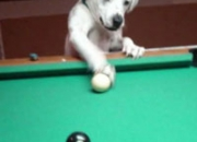 Smart dog plays pool